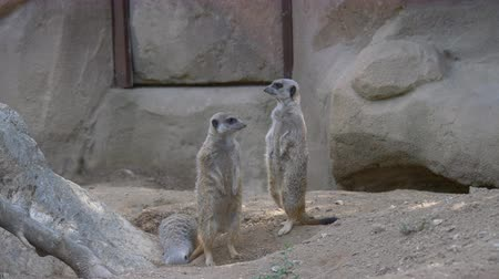 stokstaartje : Two meerkats standing while another is digging a hole