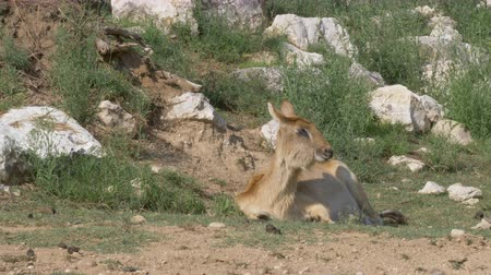 Нил : A Nile Lechwe female laying on the grass