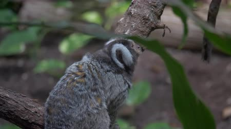 captive : Close up of a White Head Marmoset on a tree Stock Footage