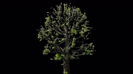 havlama : Small Leaved Lime Tree (Tilia cordata) isolated on black background with alpha channel - Apple ProRes 4444 with Alpha channel, 10bit high quality footage Stok Video