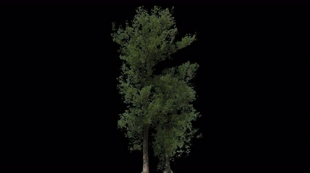 populus : Black Poplar Tree (Populus nigra) isolated on black background with alpha channel - Apple ProRes 4444 with Alpha channel, 10bit high quality footage
