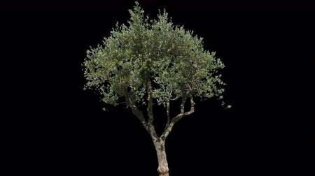 pień : Small Olive Tree isolated on black background with alpha channel - Apple ProRes 4444 with Alpha channel, 10bit high quality footage