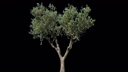 klucz : Small Olive Tree isolated on black background with alpha channel - Apple ProRes 4444 with Alpha channel, 10bit high quality footage