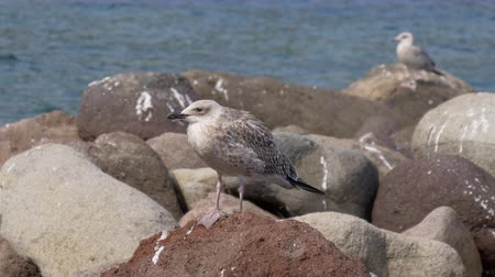 flying sea gull : Close-up of a seagull on a rock in the Mediterranean Sea