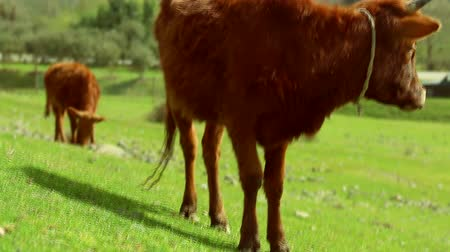 vemeno : Brown cow eating grass on wonderfull meadow field. Dostupné videozáznamy