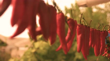 amargo : Red dried chili pepper hang on wire to be dried. Close up shot.