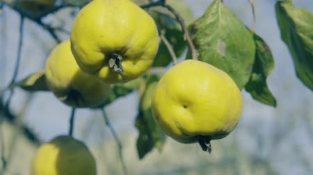 pigwa : Quinces on the tree. Close up shot. Wideo