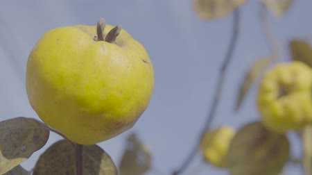 angiospermas : Quinces on the tree. Close up shot. Stock Footage