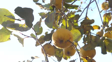 pigwa : Organic Ripe yellow quince fruit on tree. Close up shot against sunlight.