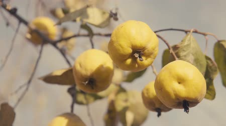 pigwa : Quinces on the tree. Cinematic color style. S-log 4k video