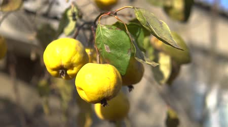 sklizené : Organic Ripe yellow quince fruit on tree. Close up shot against sunlight.