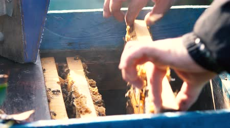 cera de abelha : Bee-maker or beekeeper man working on bee frames. Cleaning hive frames. Stock Footage