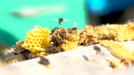 locomotion : Group of Bees colony on bee hive.