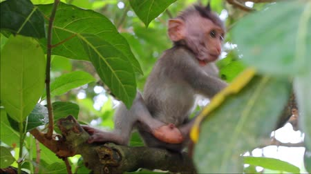 forest animals : Little monkey on the branch in a Sacred Monkey Forest, Ubud, Bali, Indonesia Stock Footage