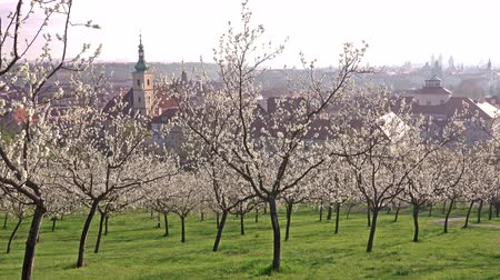 čeština : Beautiful spring view of Prague after sunrise from blossoming Petrin hill with an Old Town in background, Prague, Czech Republic
