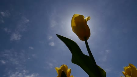 martwa natura : The sun shines through the yellow tulip.