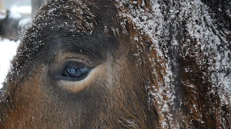 жевать : Eye of the horse. Close up.