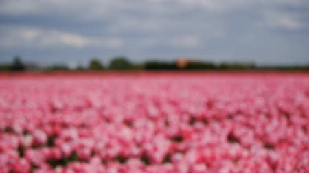 tulipan : Pink tulips. Defocus. long shot