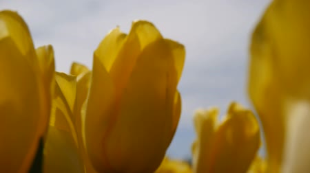 güzelleşmek : Female hand glide over yellow tulips. Close-up.