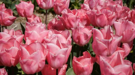 leafs : Panorama of pink tulips. Close-up.