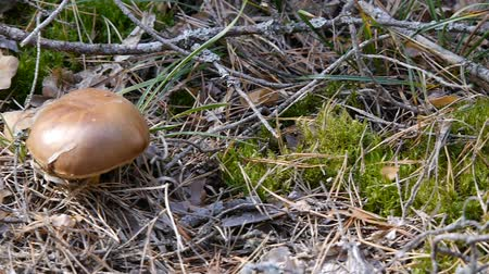 borowik : One mushroom in the forest. Camera slide from right to left. Autumn weather. Close-up. Wideo