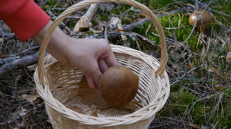 плодоношение : Mushroom in the forest. The girl puts the mushroom in the basket. Close-up. Autumn weather.