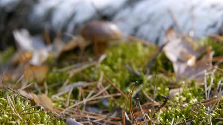 плодоношение : Mushroom in the forest. The camera zooms in on the mushroom. Autumn weather. Close-up.