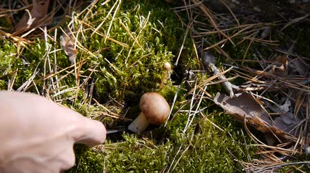 tonik : Mushroom in the forest. A girl cuts a mushroom with a knife. Close-up.