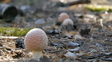 плодоношение : Three amanita in the forest. Mushroom. Defocus Close-up.