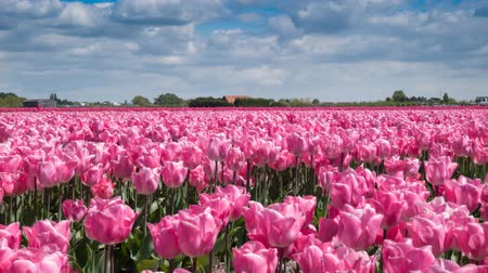 canteiro de flores : Time Lapse. Fields of pink tulips in Keukenhof area near Amsterdam, Netherlands. Close-up. 4k. Vídeos