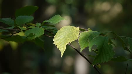 древесный : Close-up. Green leaf. Leaves tremble slightly in wind on thin black tree branch against blurred green lawn.