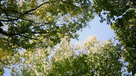 древесный : Treetops sky. View of sunny tall treetops rotation on place in the forest. slow motion used.