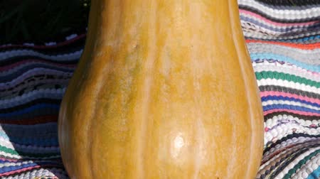 Октоберфест : Panorama pumpkin. Halloween pumpkins. Orange vegetable for pumpkin soup and other squash products. Стоковые видеозаписи