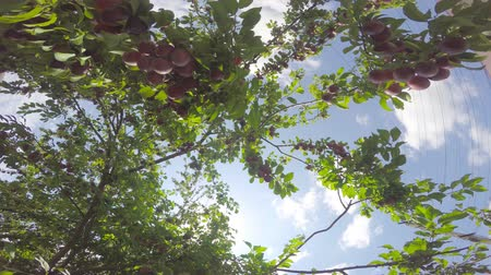Tree branches are strewn with fruit. The camera revolves around the branches of the fruit trees. Fruits shine with the rays of the sun against the sky.