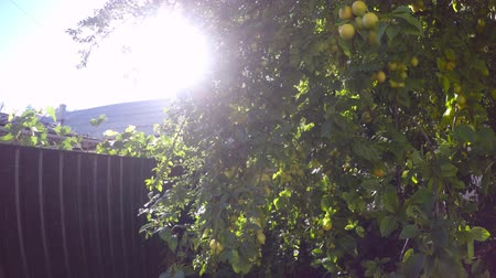 before the fence ripen the fruit on the tree in the rays of the sun