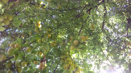 under the green leaves of the tree, the ripening fruits hide against the sky in the rays of the sun