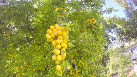 a large bunch of yellow cherry plum ripens on a tree like a grape Stock Footage