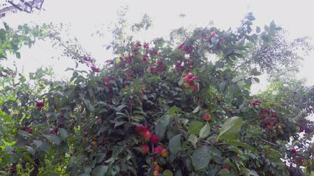 The tree is strewn with ripening fruits under the summer sun