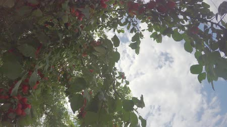 The tree is dotted with ripening fruits under the summer sun against the sky Dostupné videozáznamy