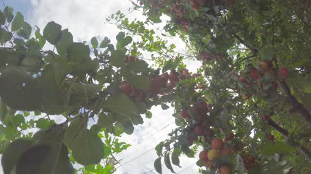 The tree is dotted with ripening fruits under the summer sun against the sky Stock Footage