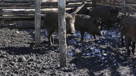 Wild boars on the farm in the pen. Pigs walk through the mud.