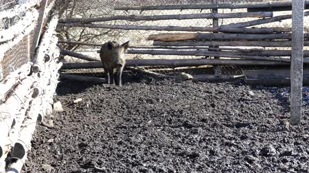 загон : Wild boars on the farm in the pen. A wild boar is in the corner of the pen.