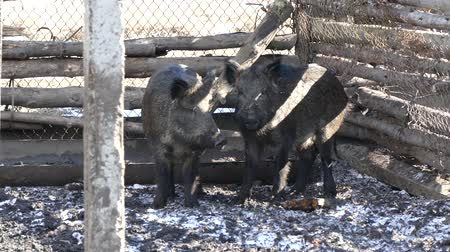corral : Wild boars on the farm in the pen. female and male wild boars in fear huddled together.