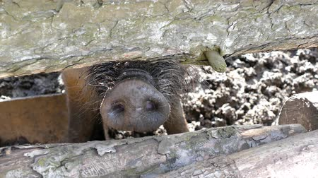 загон : the wild pig protrudes its nose through the fence. the camera watches the pigs nose.