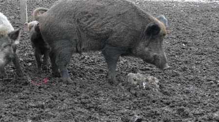 Wild boars on the farm in the pen. Alpha male wild boars do a crap. little pigs pick up shit and start eating it. Dostupné videozáznamy