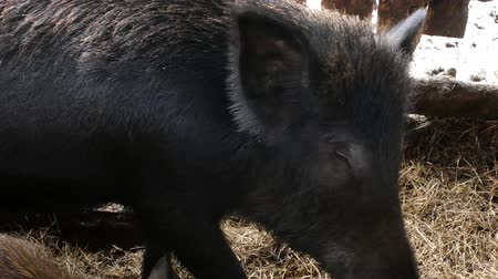 Wild boars on the farm in the pen. female wild boar brought little pig asked snacks.