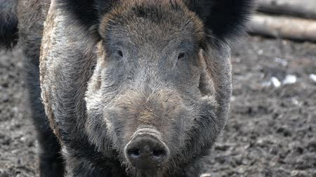 Wild boars on the farm in the pen. head of Alpha male wild boar close-up