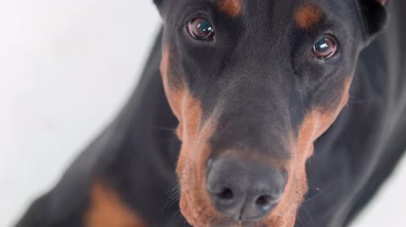pincher : Waiting for you.  Top view of muzzle of Doberman on isolated white background looking sad
