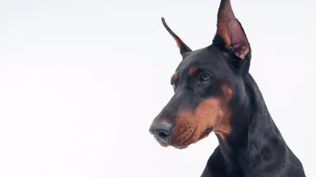 pincher : Security with teeth.  Horizontal dolly shot of doberman  sitting on white isolated background
