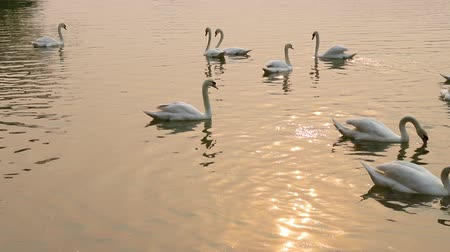 cisne : Swan Lake. Swans on the water